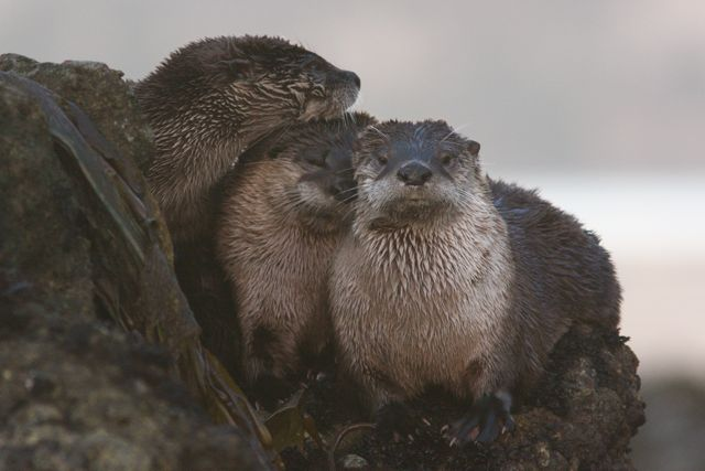 I found this trio of otters late one afternoon. Point Reyes National Seashore, Ca.