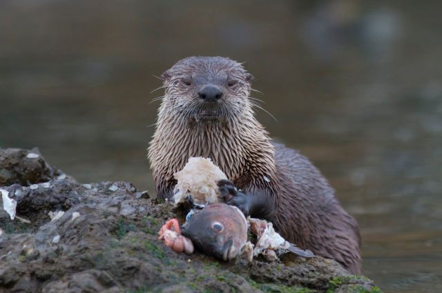 North American River Otter eating sashimi