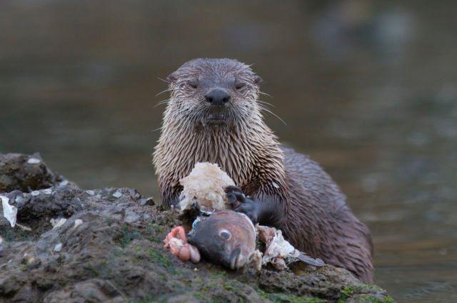 North American River Otter eating sashimi