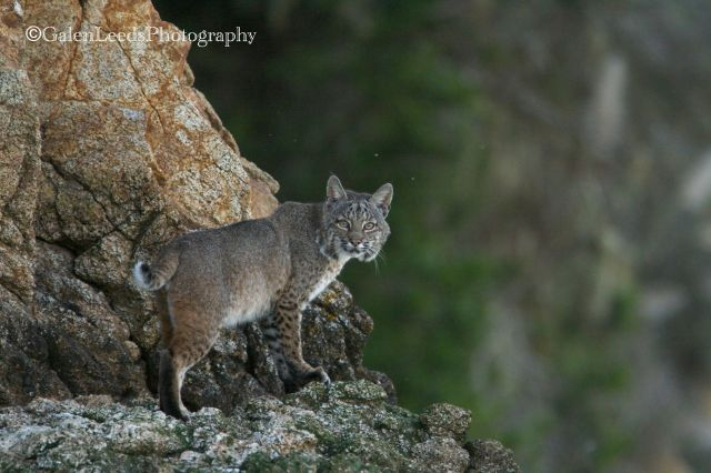 I most often see bobcats (Lynx rufus later in the day, when I am regularly paddling in and out of shadow and the light is changing quickly