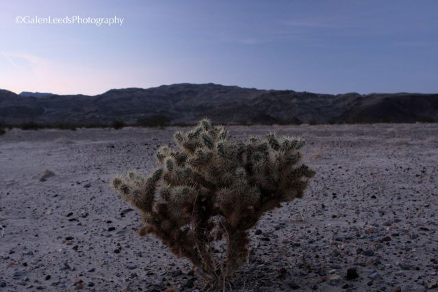 Cactus of Death Valley National Park, Ca.