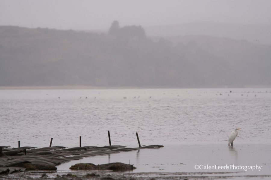 The oyster beds  uncovered at low tide, near Tomasini Point, Tomales Bay