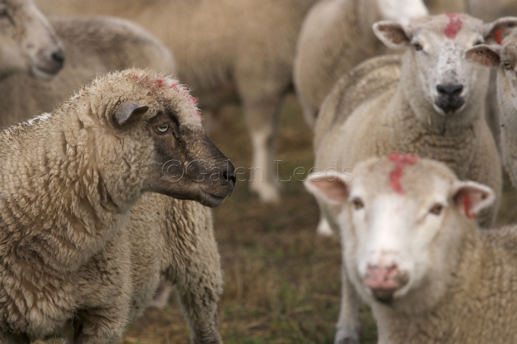 The Tomales Racing Sheep Anatomy Of A Photo 32 Galen Leeds
