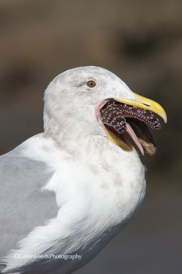 The gull seems to even be having trouble keeping its own tongue in its mouth, much less downing the starfish