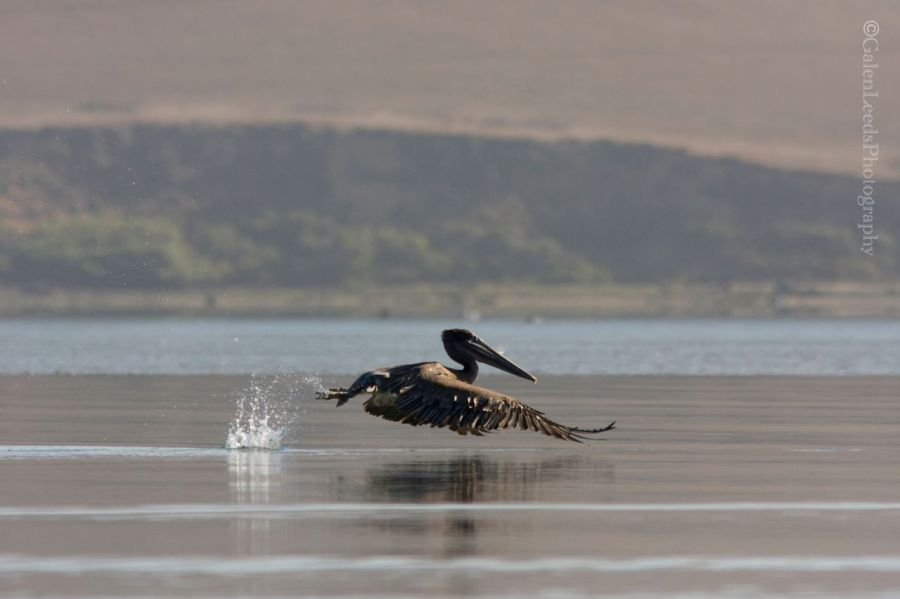 Brown pelican slapping the water with its feet as it takes off