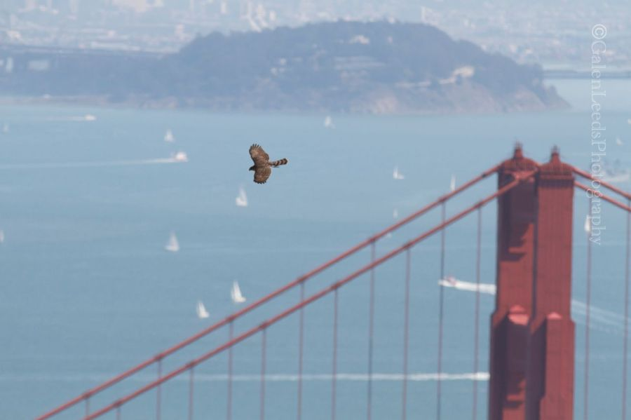 I tried to get this cooper's hawk with the Golden Gate Bridge for background