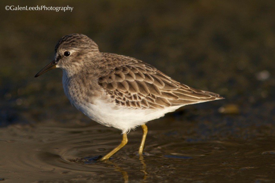 Now look at this profile of the Least Sandpiper. Much less is blurred out, although the camera settings are identical