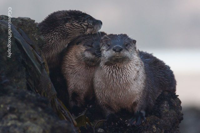 A portrait of three otters that climbed onto a rock for a little rest and to watch the watcher