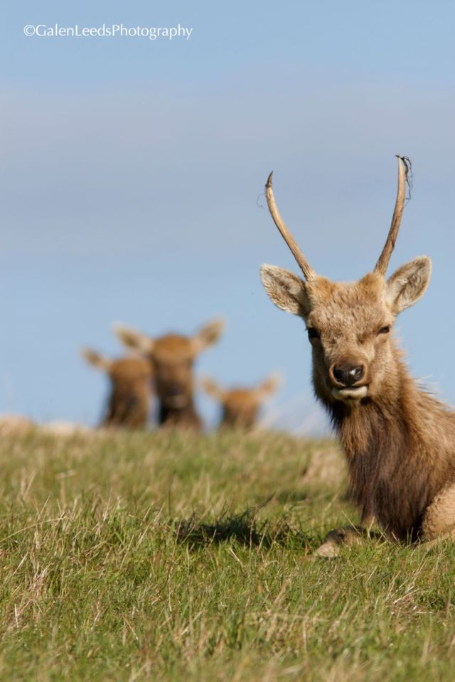 Young bull elk with velvet peeling from its antlers and females watching from behind