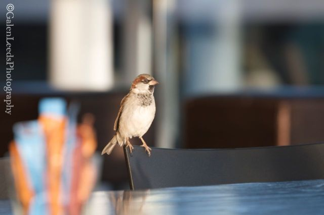 Inside Aukland's airport we came across our first bird- the English Sparrow. Just because it looked nearly the same and lived wild inside a building didn't stop me from snapping a shot