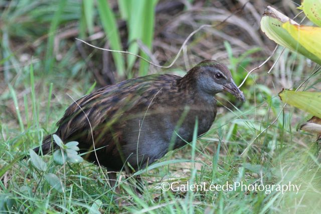 Luckily we were also able to spot some birds such as the endangered and endemic Weka while we were in NZ