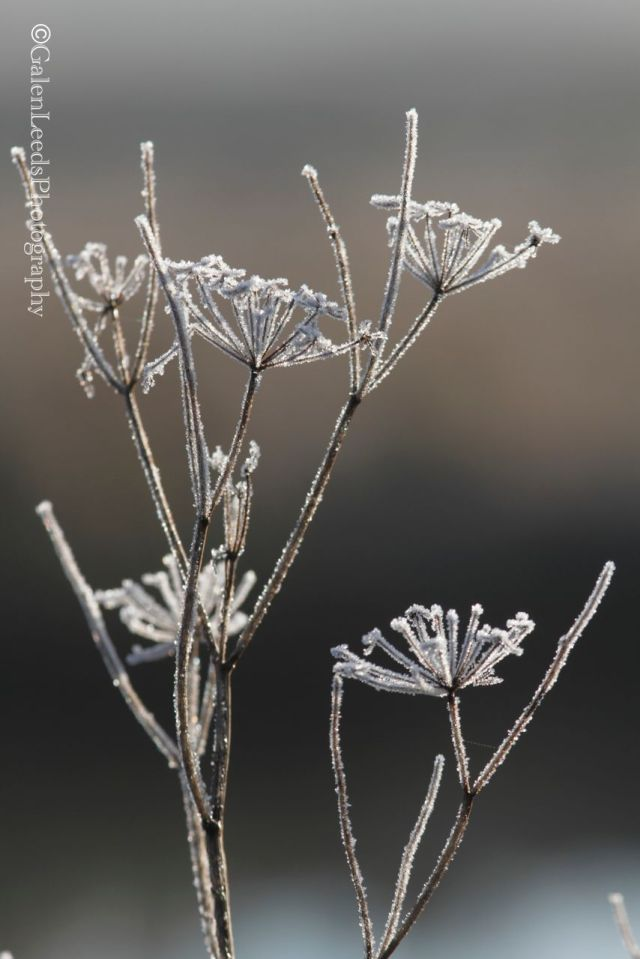 I'm not  big fan of the invasive Queen Anne's Lace, but it can make for some fun frosty images