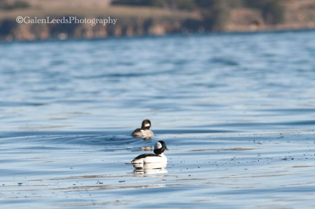 I saw many ducks, mostly Buffleheads (above), Surf Scoters, Wigeons, and Goldeneyes. If I'd headed to the south end of the bay, the species would have been more varied.