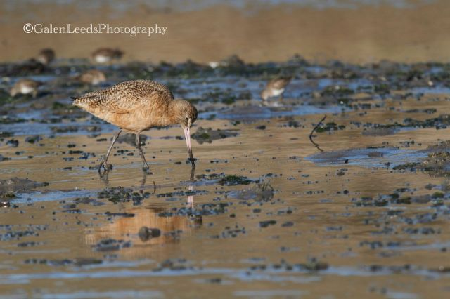 I began with the Marbled Godwits. They've long been one of my favorites, since they were one of the first birds I learned to identify