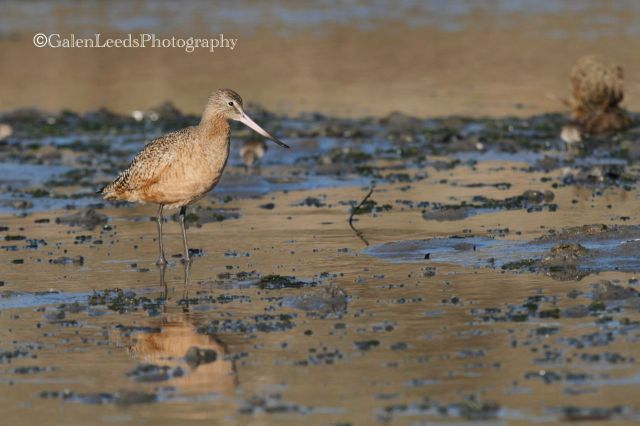 This Godwit appears very different when frozen in time