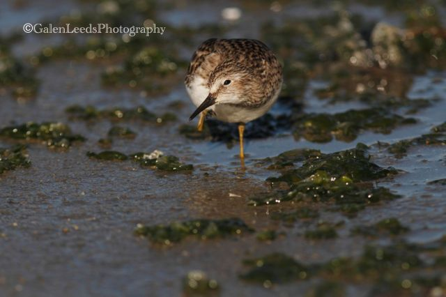 You can see that this Least Sandpiper is scratching, but you don't get the full action