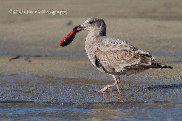 And of course the gull was acting a little shy with its treat