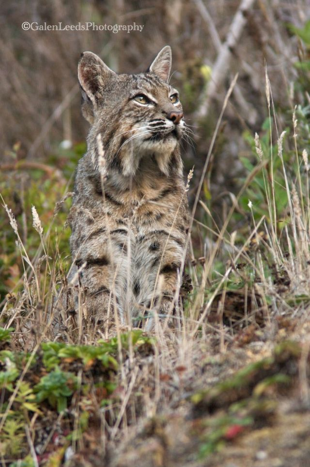 Bobcat sitting and contemplating the world. A very different take on the bobcat from my other images