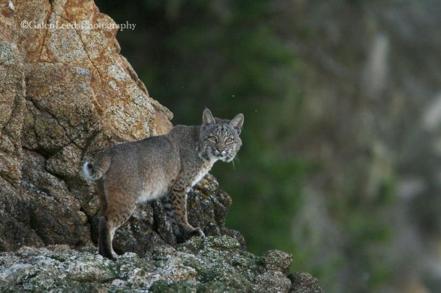 The next time I captured a bobcat with my camera, the results were much improved.