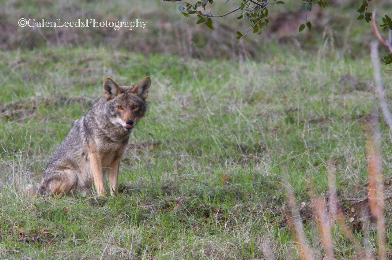 Anatomy of a photo #86: Coyote tongue | Galen Leeds Photography