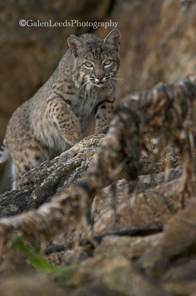 Bobcat stalking the Shores of the Point Reyes National Seashore