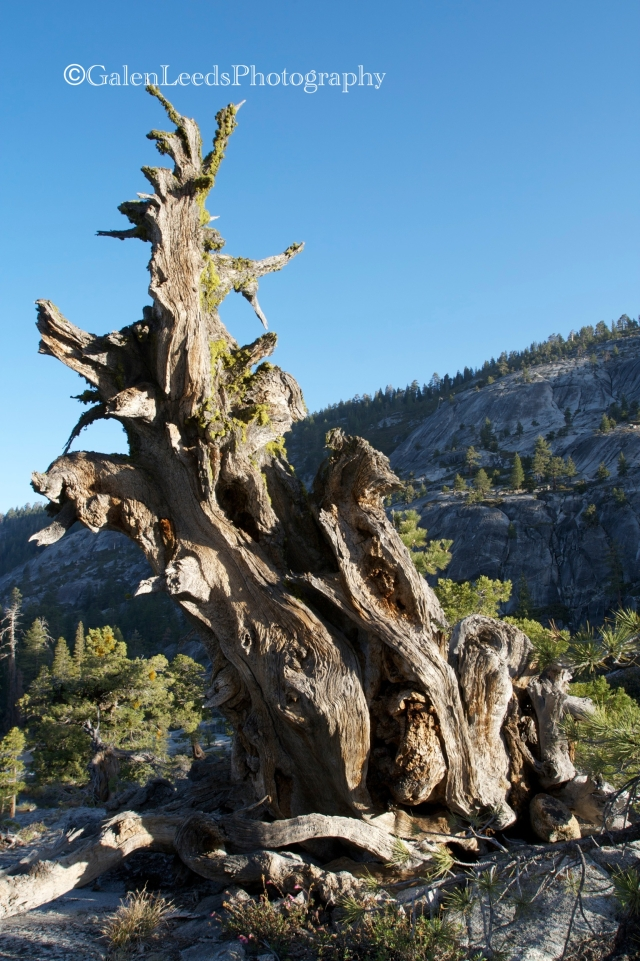 The ancient twisted Mountain Junipers of the Stanislaus National Forest