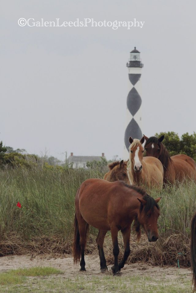 The wild ponies of Shcakleford Bank in the Cape Lookout National Seashore, North Carolina