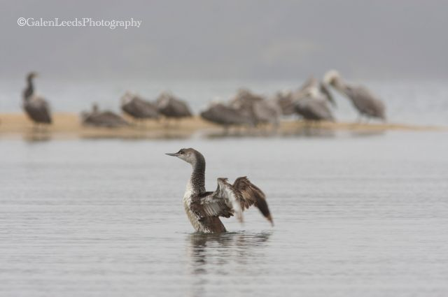 Red-throated Loon rising up in Tomales Bay, along the shores of the Point Reyes National Seashore, Ca.
