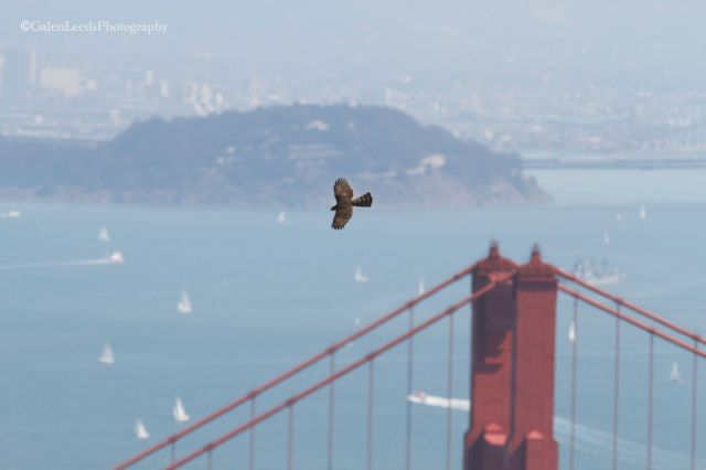 Cooper's Hawk migrating over Hawk Hill in the Golden Gate National Recreation Area